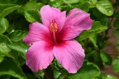 hibiscus-1097250_1920