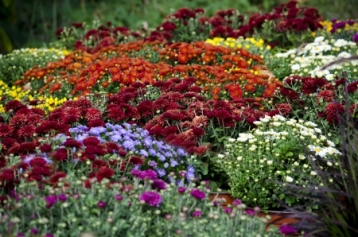 25254252 - display of fall mums