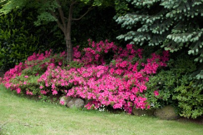 26278876 - flowering azaleas