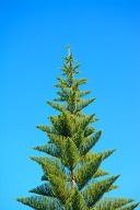 28001573 - norkfolk pine under a blue sky