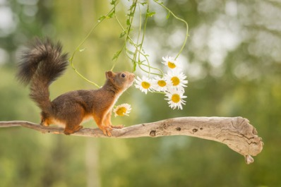 45604279 - female red squirrel standing on tree branch with flowers