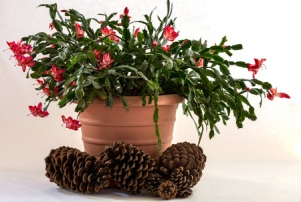 50130908 - christmas cactus on white