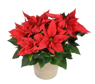 50917899 - red poinsettia plant in vase isolated on white