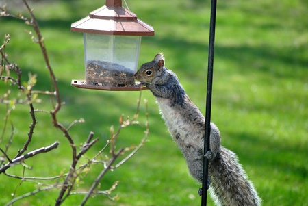 9367719 - gray squirrel attempts to steal seeds from a bird feeder