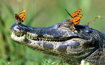 funny-wallpaper-of-a-crocodile-with-butterflies-on-his-head