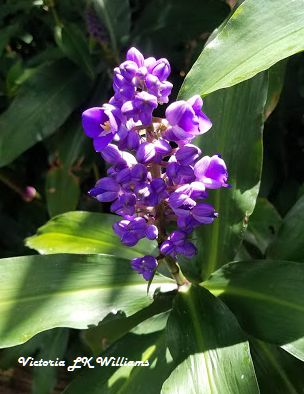 purple ginger