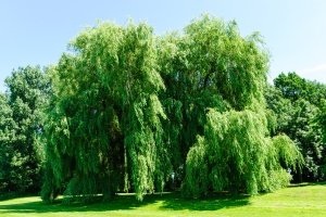20833543 - weeping willows, salix alba tristis, in summer